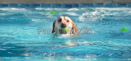 dog swimming with ball in mouth