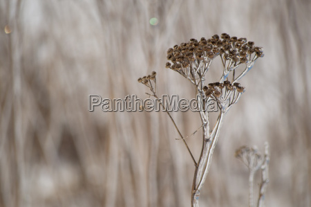 a yarrow stem covered in ice