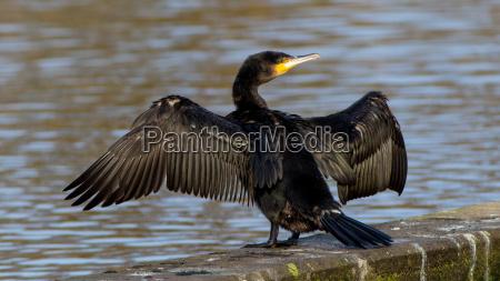 great black cormorant phalacrocorax carbo at
