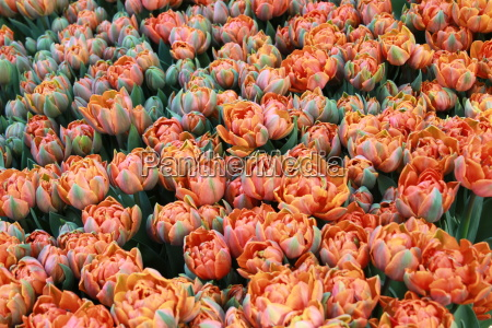 orange tulips in flower bed