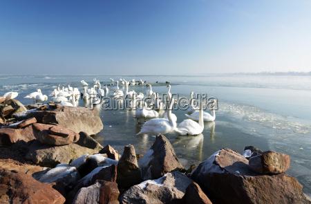swans on lake balaton in winter