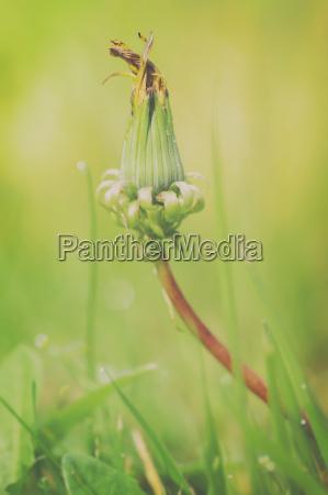 dandelion closed flower