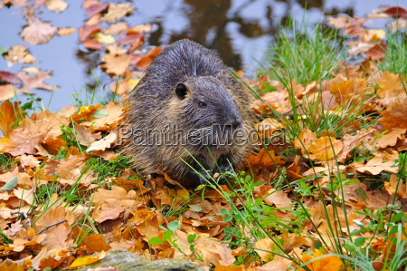 a nutria on the water