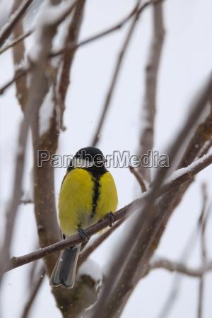 beautiful small bird great tit in