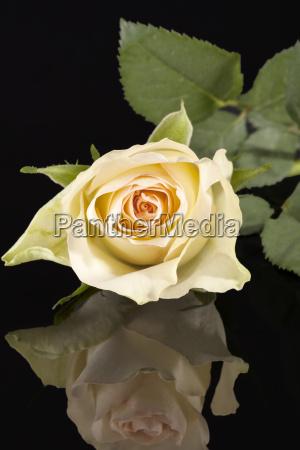 single yellow rose on black background