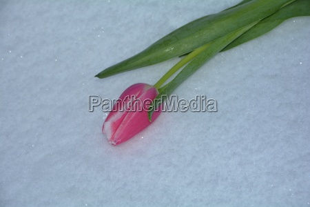 pink tulip lies in the snow
