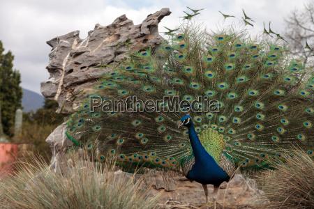 male peacock pavo muticus