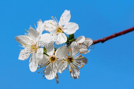 blooming cherry plum tree in spring
