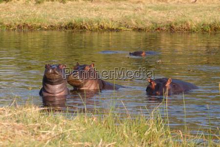 hippo hippopotamus okavango delta botswana africa