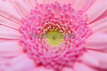 close up of beautiful pink gerbera