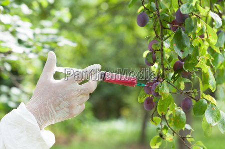 genetically modified plum