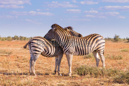 couple of zebras from kruger national