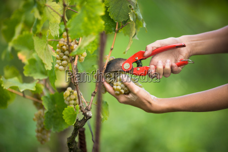 hands of a female vintner harvesting