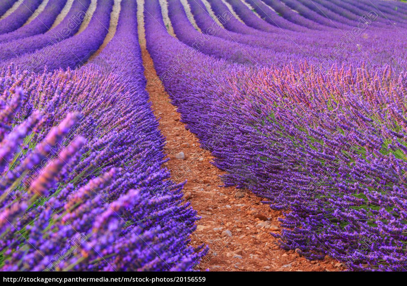 lavender, rows - 20156559