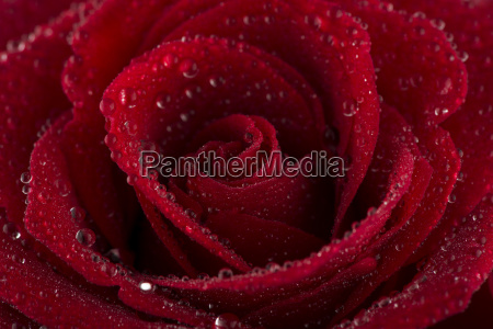 blossom of red rose with water
