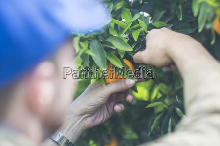 farm worker on plantation plucking oranges