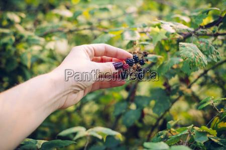 womans hand picking blackberries