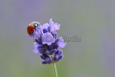 seven spotted ladybird on lavender blossom