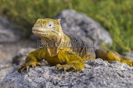 ecuador galapagos islands galapagos land iguana