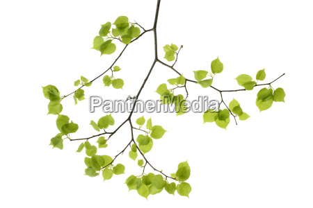 lime tree leaves in front of