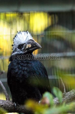 western long tailed hornbill horizocerus albocristatus