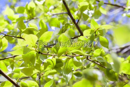linden leaves spring