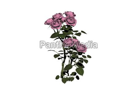 rosebush free
