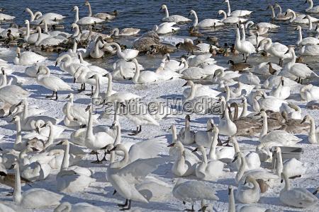 monticello trumpeter swans