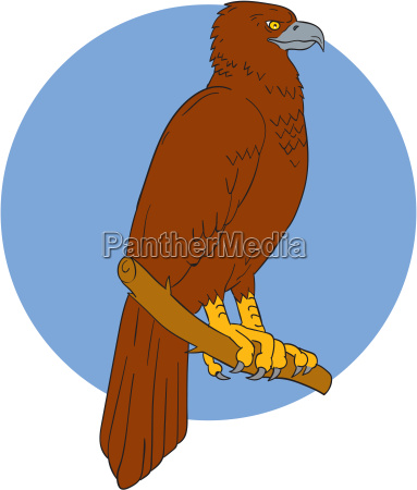 australian wedge tailed eagle perch drawing