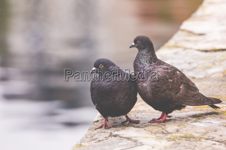 two pigeons on a wood post