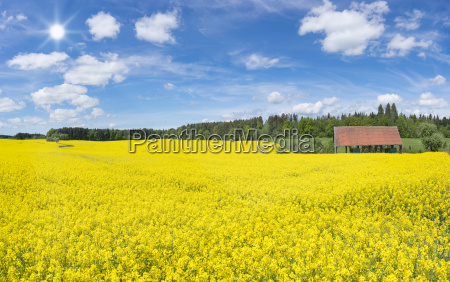 large flowering rape field at an