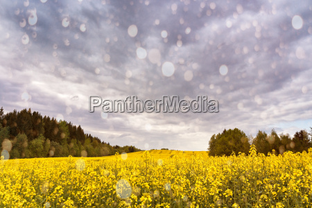 spring storm clouds above rape seed