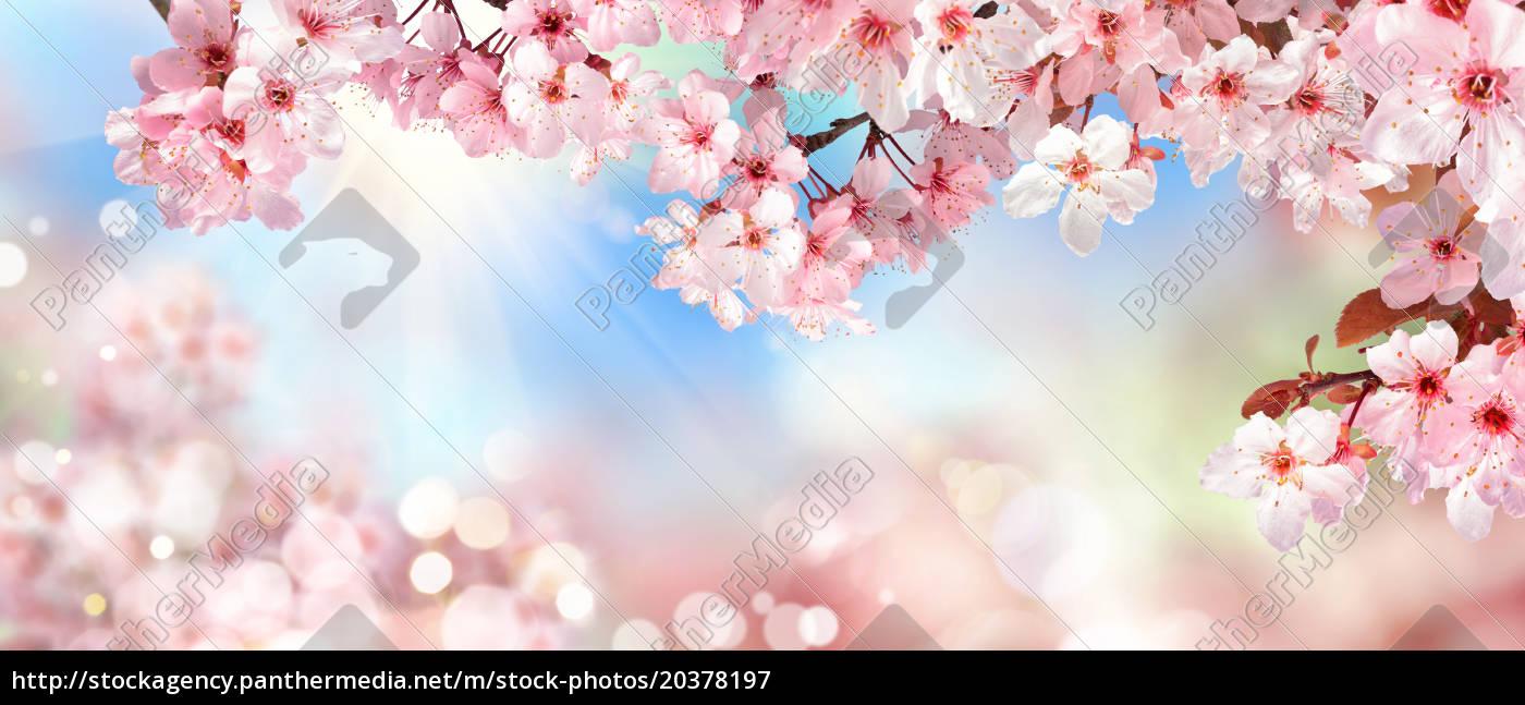 nature, scenery, in, spring:, cherry, blossom, bokeh - 20378197