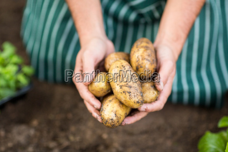 gardener harvesting potatoes at greenhouse