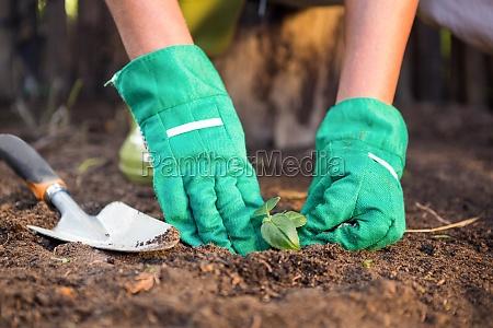 close up of gardener planting seedling