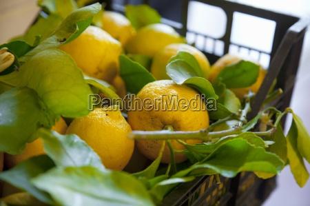 freshly picked lemons in a crate