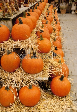 long rows of pumpkins for sale