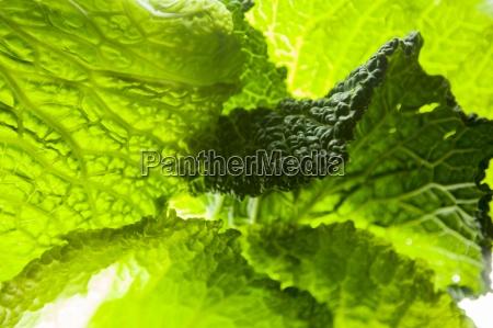 light shining through savoy cabbage leaves