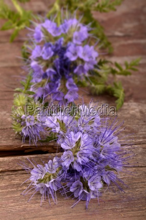 phacelia flowers on a wooden surface