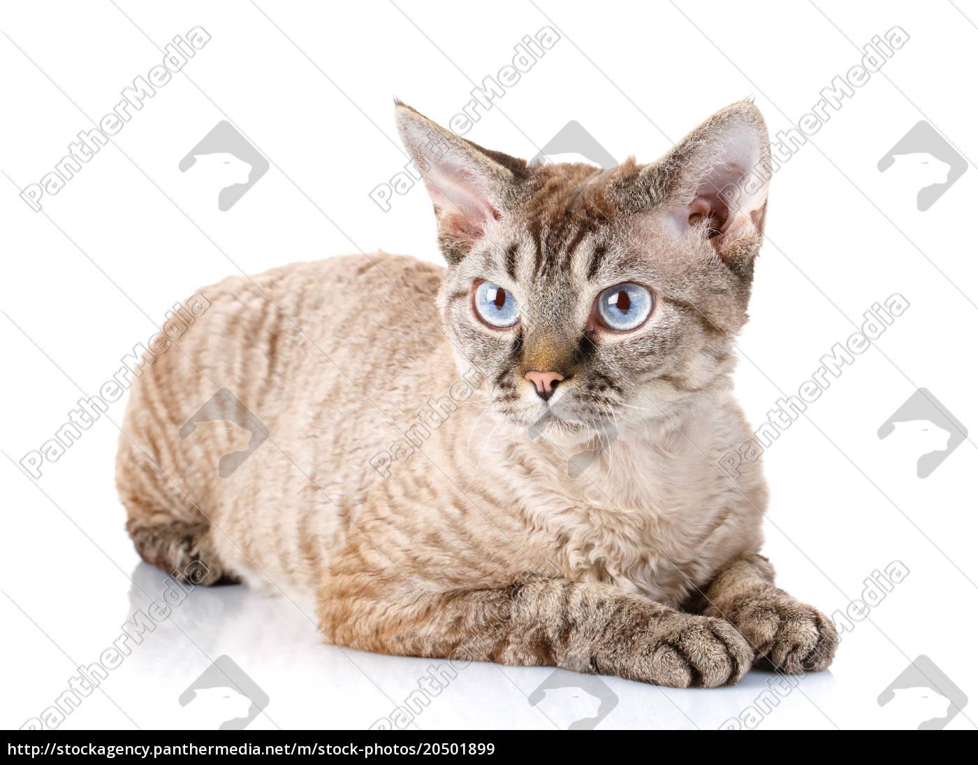 gray, devon, rex, cat, with, big - 20501899