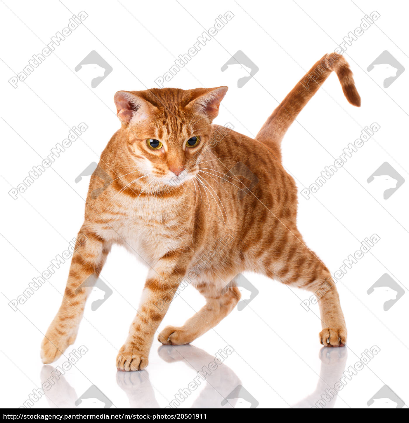 ocicat, cat, on, a, white, background. - 20501911