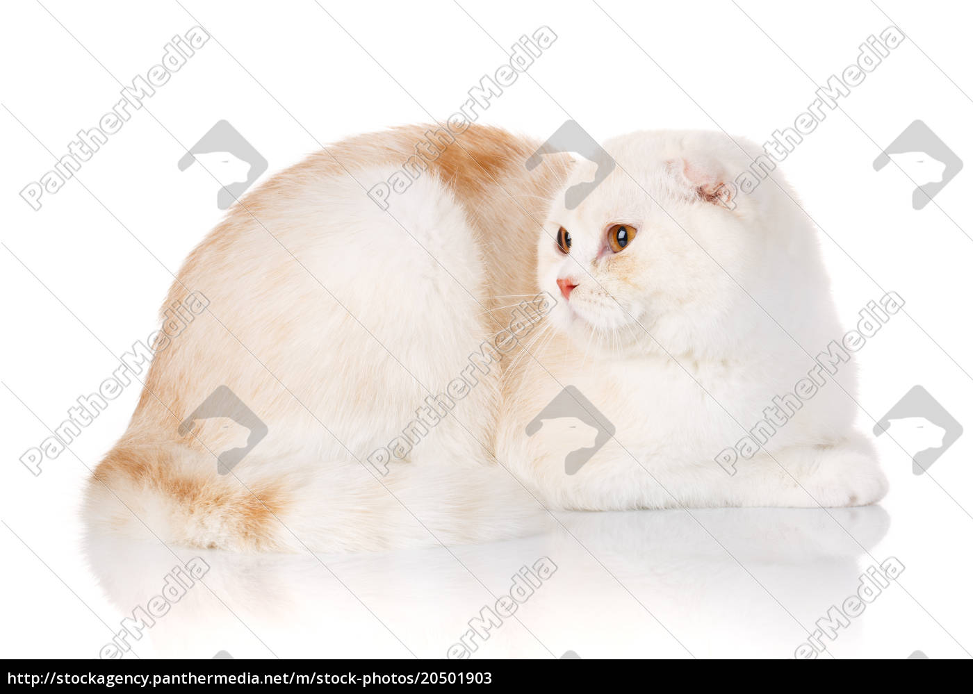 white, shorthair, british, cat, with, yellow - 20501903