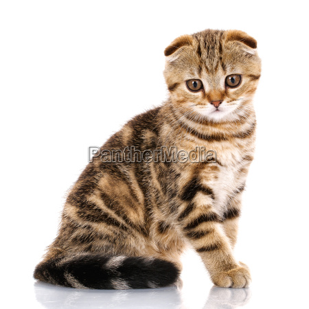 lop-eared, scottish, cat, ., isolated - 20502157