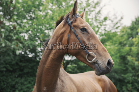 a bay thoroughbred racehorse in a