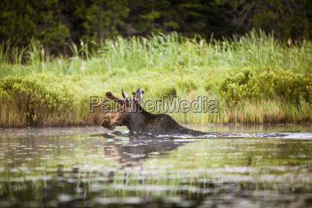 a young male moose swims to