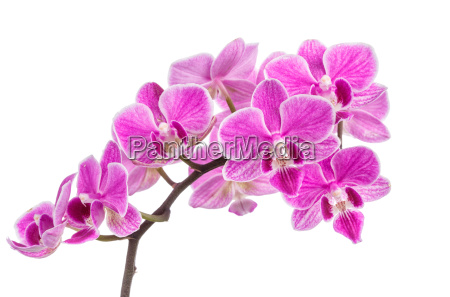 branch of pink orchids isolated on
