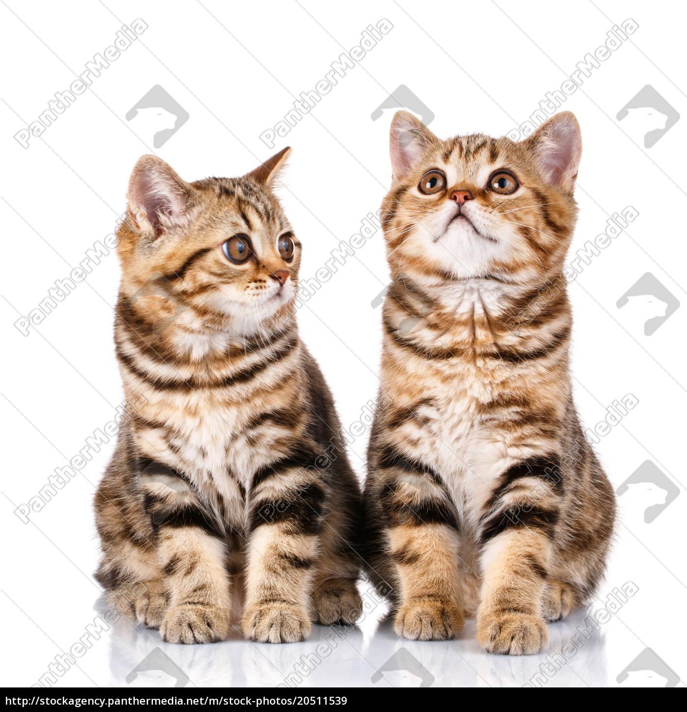 scottish, kittens, sitting, on, white, background - 20511539