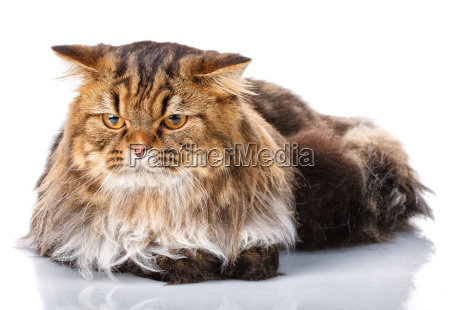 cat, lies, on, white, background - 20512287
