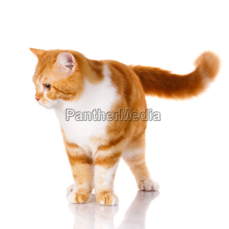 red-haired, and, white, cat, standing, on - 20512319