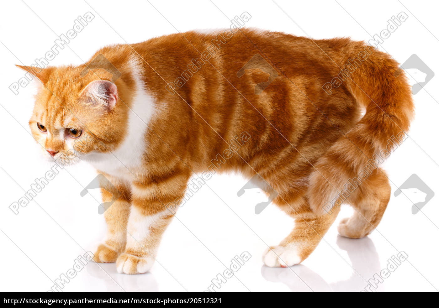 red-haired, cat, standing, on, white, background - 20512321